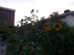 sunflowers in carpark garden