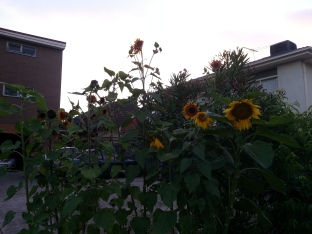 sunflowers in carpark garden