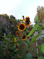 awesome sunflowers