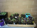 Tomatoes - all from seed