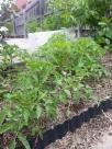 tomatoes in car park garden