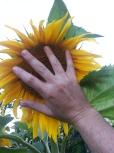 Big-ass Sunflowers