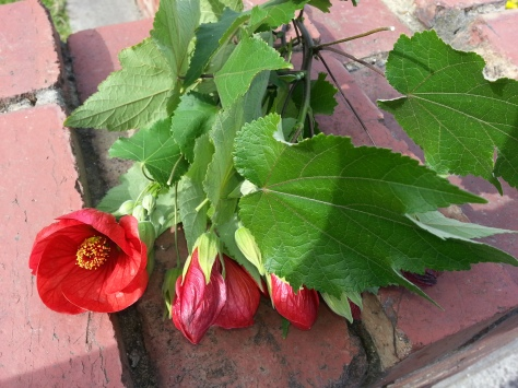 Red Abutilon (Chinese lantern)