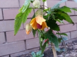 East side Abutilon