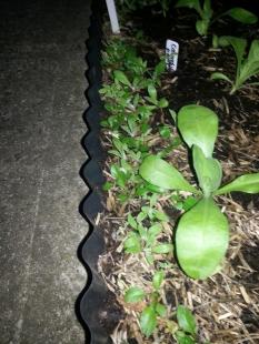 Bellis seedlings
