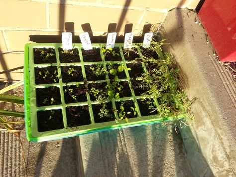 Dill, Parsley, Thyme and Oregano seedlings