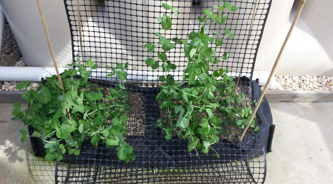 The Re-homing of the Peas