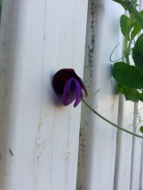First Sweet Pea Flower