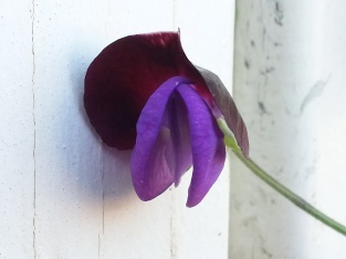 Sweet Pea - couldn't catch the scent yet