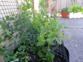 The Pea Patch
