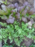 I particularly love the 'Red Mustard' leaves and the 'Rocket / Arugala'