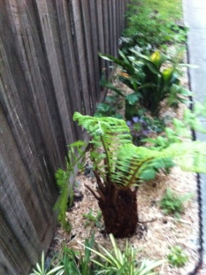 replacement tree fern - looking much better