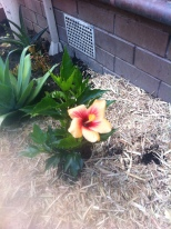the tiny hibiscus - its grown so big now