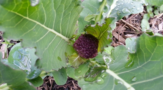 Here come the Brassicas!