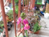 First Linaria Flower