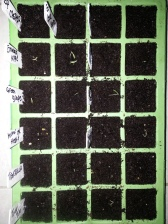 Tomato sprouts - emerged today