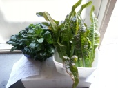 Tatsoi and red lettuce in the foyer