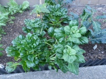 Lots of Tatsoi still in the East Side. I'll let the one at the front 'go to seed'