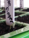 Eggplant (Little Finger) Sprout - less than 24 hours old