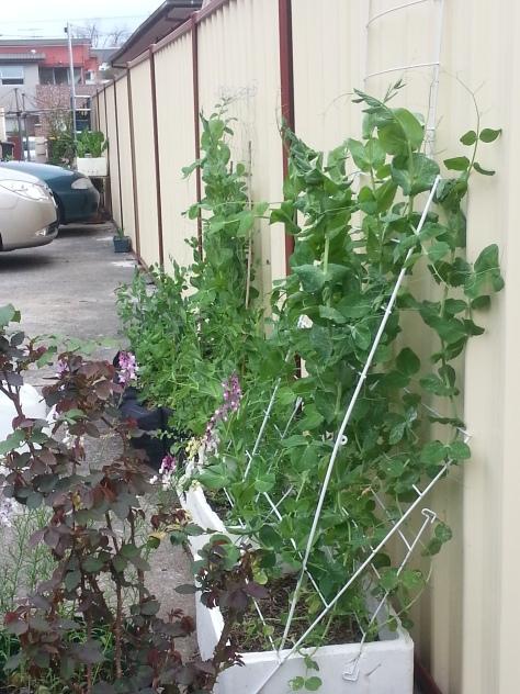 pea garden