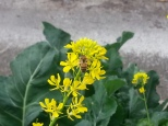 Bee on Mustard Flower