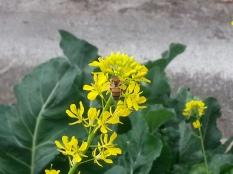 Bee on Mustard Flower