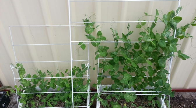 Still No Flowers on the Snow Peas :-(