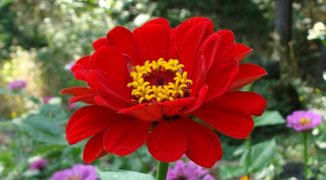 [Re-blogged] Swim in a Sea of Zinnias